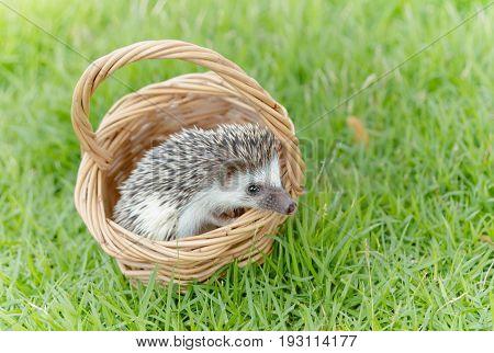 Hedgehog in the green grass African pygmy hedgehog