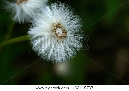 Coltsfoot. Blowball. Foalfoot flower growing on a spring meadow.