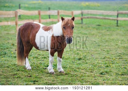 Little pony on the pasture in summer