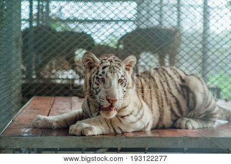 White tiger cub resting in a cage