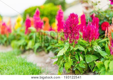 beautiful nature, Celosia flower, Chinese Wool Flower