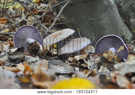 Edible mushroom, yummy violet knight ling lepista nuda in natural habitat