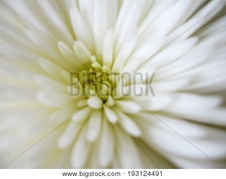 Light background with a blurred dainty white aster