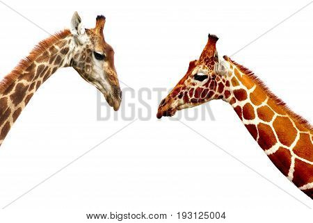 Tallest Living Terrestrial Animals over white background