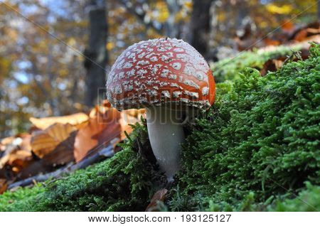 Fly agaric or fly Amanita mushroom on moss in forest. Spotted toadstool, toxic and psychedelic mushroom in the woods
