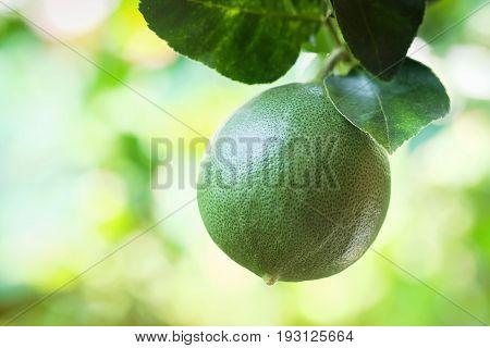 Green lime fruit on a lemon tree in the garden