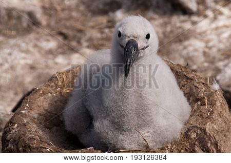 Cute little Black-Browed Albatross chick on it's nest in the breeding colony on Westpoint Island, the Falklands.