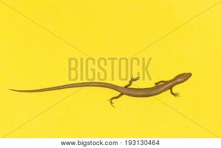 lizard on a yellow background . A photo