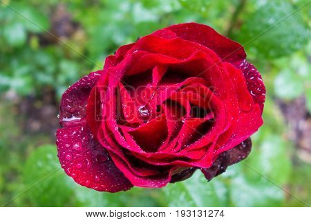 Red rose and rain drops
