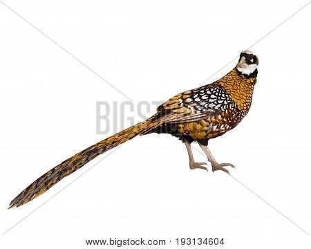 royal pheasant isolated on a white background