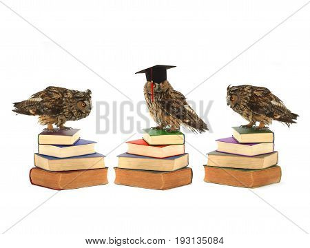 owls in academic cap on a white background