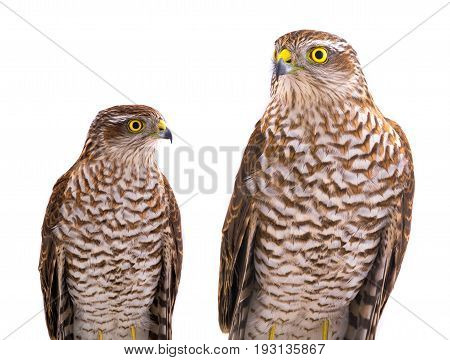 two falcon isolated on a white background, studio shot
