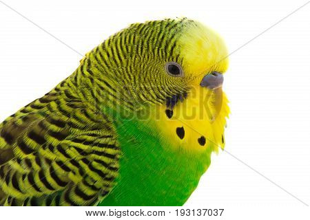 yellow budgie isolated on a white background