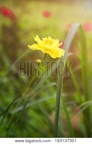 Small yellow flowers on the delicate background macro of yellow flowers spring background with beautiful yellow flowers