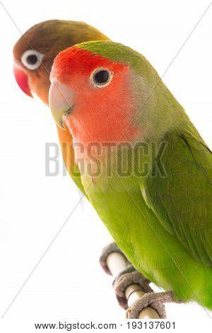 portrait lovebird and fischer's lovebird isolated on a white background\