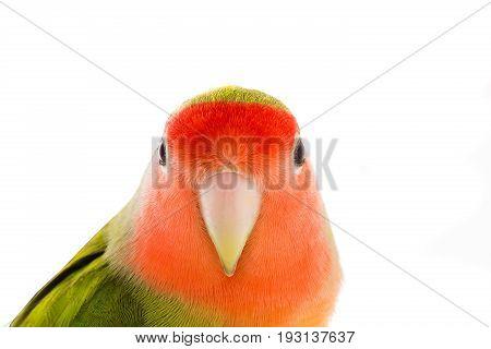 portrait lovebird isolated on a white background , studio shot