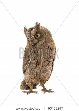 European scops owl isolated on white background