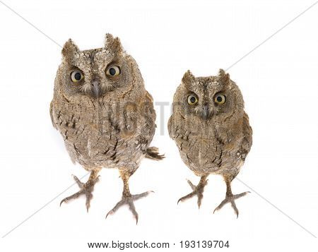 Two European Scops Owl
