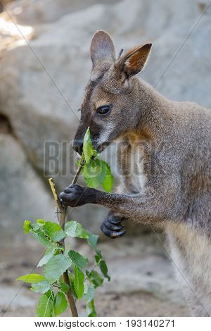 Red-necked Wallaby Kangaroo Baby Graze