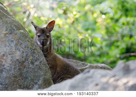 Red-necked Wallaby Kangaroo Baby