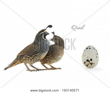 California Quail and egg isolated on a white background, studio shot