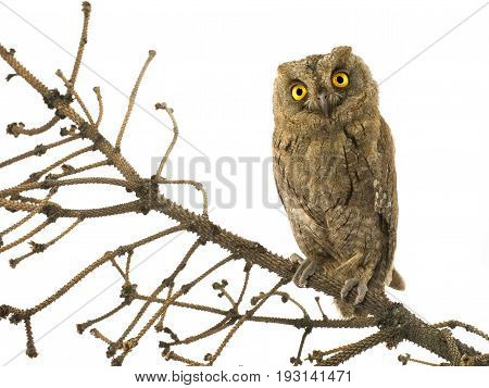 European scops owl on a branch on a white background, studio shot