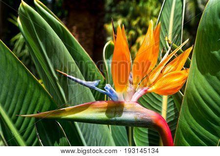 Flower Strelitzia. Bird Paradise. Tenerife Canary Islands. Tropical garden North Africa. Strelitzia flower Canary islands