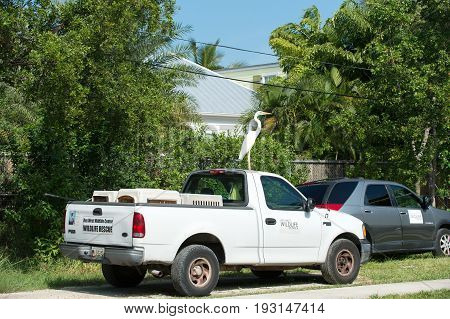 Key west Usa-January 9. 2016 : car roof parked at road side with white bird heron or great egret standing on top on sunny summer day on natural background. Wildlife and nature. Ornithology