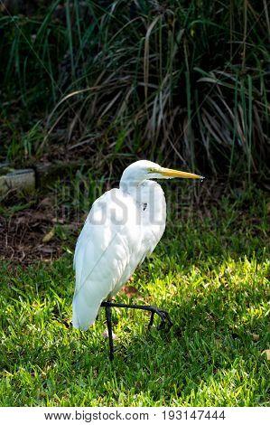 Heron Or Great Egret Bird