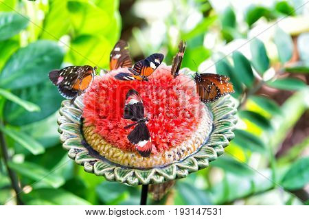 Butterflies Feeding Nectar From Large Blossoming Flower
