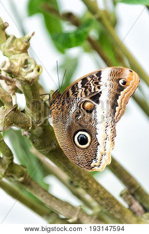 Butterfly With Eyespots On Brown Colored Wings