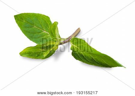 Basil leaf closeup isolated on white background. Healthy greens, cooking ingredient