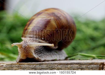 Grey snail on green grass.Closeup macro photography