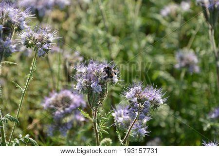 Phacelia   (   scorpionweed,  heliotrope , Boraginaceae, Kerneudikotyledonen  )     in detail with bumblebee