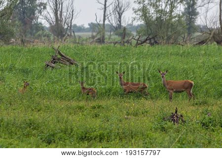 red deer fawn and hinds at Oostvaardersplassen the Netherlands