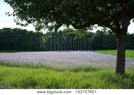 Phacelia field  (   scorpionweed,  heliotrope , Boraginaceae, Kerneudikotyledonen  )   with tree in the foreground and wood in the background