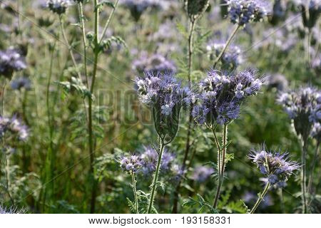 Phacelia   (   scorpionweed,  heliotrope , Boraginaceae, Kerneudikotyledonen  )