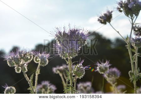 Phacelia  blossoms (   scorpionweed,  heliotrope , Boraginaceae  )   in the back light with blue sky