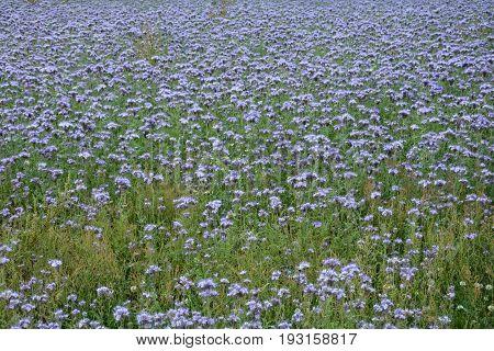 Phacelia blossoms  (   scorpionweed,  heliotrope , Boraginaceae, Kerneudikotyledonen  )  on the field