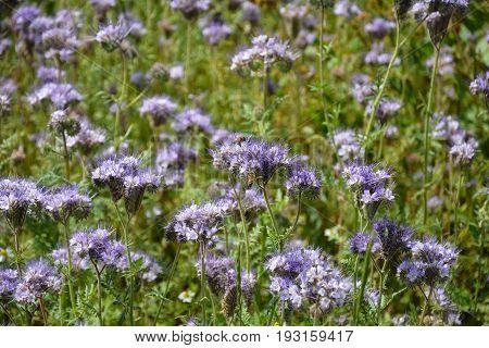 Lilac Phacelia blossoms  (   scorpionweed,  heliotrope , Boraginaceae, Kerneudikotyledonen  )    on the field