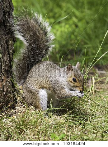 Squirrel ( Sciurus Carolinensis ) Having Morning Breakfast
