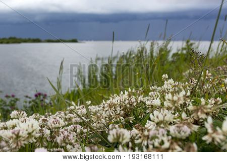 grass white clover trefoil shamrock flowers on the coast the Gulf of Finland