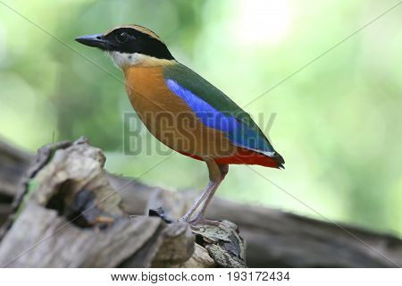 Bird of Thailand in nature Blue-winged Pitta (Pitta moluccensis)