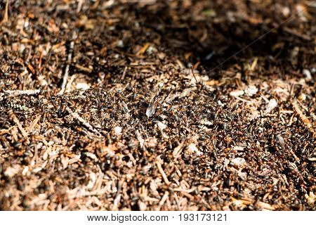 There are a lot of ants in the anthill, which is straight on a sunny meadow in the forest. There are so many that it seems that the earth is moving. If very close to them you can hear how they move.