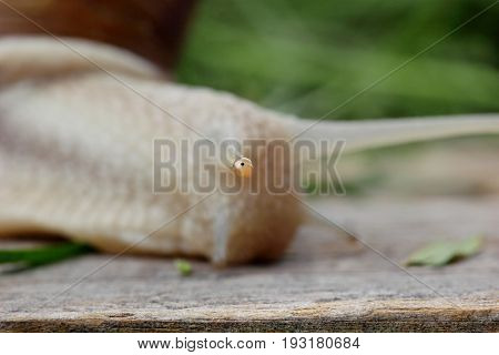 Eye of snail Closeup macro photography.Focus on eye