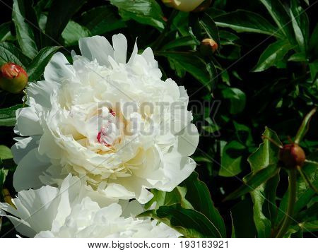 Varietal big white peony in the garden on a sunny day