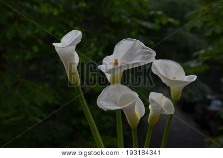 Bouquet of White Cala Lilies flowers in the green natural background, Sofia, Bulgaria