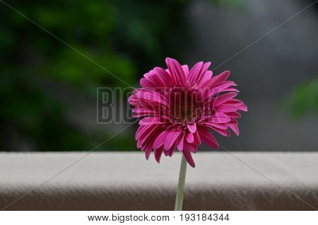 Gerber  flower in the green natural background, Sofia, Bulgaria