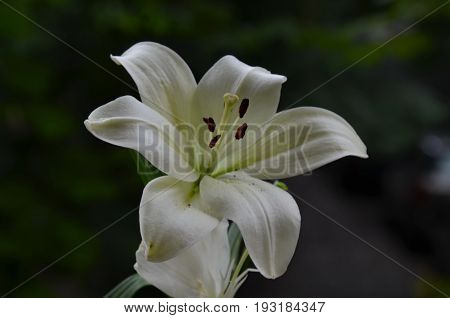 Lilium  flower in the green natural background, Sofia, Bulgaria