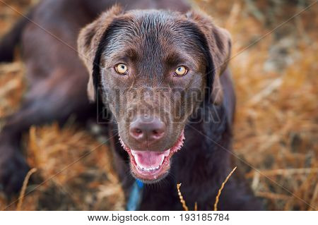 portrait of a young cute labrador retriever dog puppy on a meadow with a leash around his neck and beautiful bright eyes